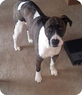 Boxer/Hound (Unknown Type) Mix Dog for adoption in Metamora, Indiana - Biscuit