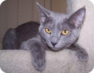 Domestic Shorthair Kitten for adoption in Colorado Springs, Colorado - K-Nicholas4-Nimbus