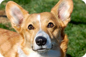 Corgi Mix Dog for adoption in Meridian, Idaho - Newman
