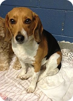 Beagle Mix Dog for adoption in Richmond, Virginia - Boomer