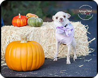 Chihuahua Dog for adoption in Shawnee Mission, Kansas - Pixie