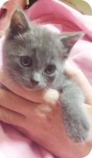 Domestic Shorthair Kitten for adoption in Chapel Hill, North Carolina - Viola