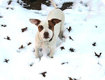 American Bulldog Mix Dog for adoption in Muldrow, Oklahoma - Carlina