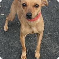 Adopt A Pet :: Rusty - Canoga Park, CA