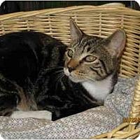 Adopt A Pet :: Boots - Catasauqua, PA