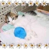 Adopt A Pet :: Baby Raine - KANSAS, MO