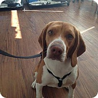 Adopt A Pet :: Rambo - Canoga Park, CA