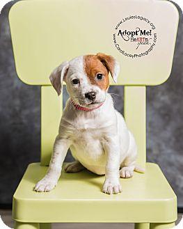 Beagle/Australian Cattle Dog Mix Puppy for adoption in Cincinnati, Ohio - Leeza