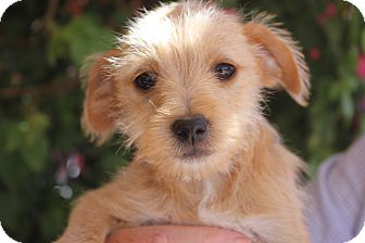 Terrier (Unknown Type, Small) Mix Puppy for adoption in Tucson, Arizona - Emma