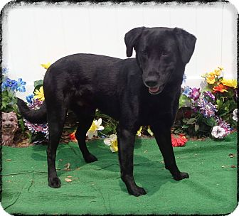 Labrador Retriever Dog for adoption in Marietta, Georgia - BANKS - adopted @ off-site