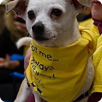 Chihuahua Mix Dog for adoption in Morganton, North Carolina - Sugar