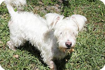 Maltese/Westie, West Highland White Terrier Mix Dog for adoption in Boca Raton, Florida - Shorty