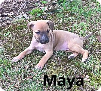 Shepherd (Unknown Type) Mix Puppy for adoption in Salisbury, North Carolina - Maya