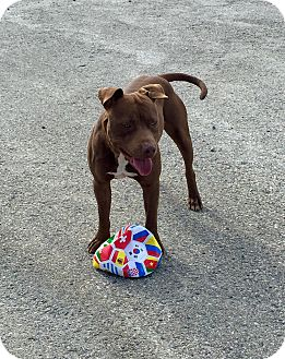 American Pit Bull Terrier Dog for adoption in Crowley Lake, California - Reese