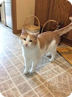 Domestic Shorthair Cat for adoption in Queensbury, New York - Sean