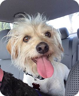 Terrier (Unknown Type, Small) Mix Dog for adoption in Encino, California - Jack