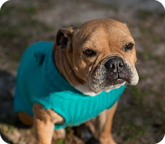 English Bulldog/French Bulldog Mix Dog for adoption in Courtland, Alabama - Pepper