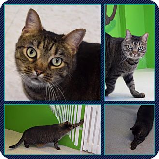 Egyptian Mau Cat for adoption in Petersburg, Virginia - Remy
