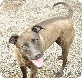 Labrador Retriever Mix Dog for adoption in Marble, North Carolina - Dixie