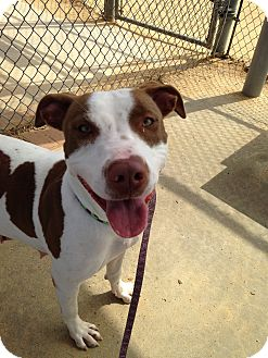 Pointer/Hound (Unknown Type) Mix Dog for adoption in Apex, North Carolina - Bea