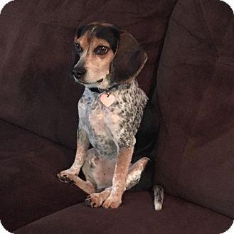 Beagle Mix Dog for adoption in Boca Raton, Florida - Freddy