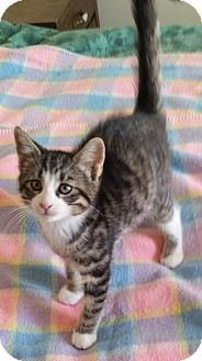 Domestic Shorthair Kitten for adoption in Woodstock, Ontario - Oscar