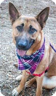 German Shepherd Dog/Labrador Retriever Mix Puppy for adoption in Woodland Hills, California - BECCA