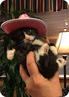 Domestic Shorthair Kitten for adoption in Bloomsburg, Pennsylvania - Darius