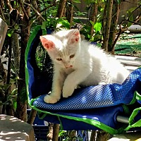 Adopt A Pet :: Sugar - Texarkana, AR
