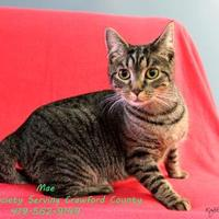 Domestic Shorthair/Domestic Shorthair Mix Cat for adoption in Bucyrus, Ohio - MAE