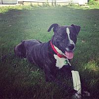 Adopt A Pet :: Hank - Laingsburg, MI