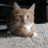 Adopt A Pet :: Pumpkin Spice - Lexington, KY