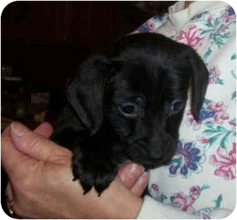 Poodle (Standard)/Terrier (Unknown Type, Medium) Mix Puppy for adoption in Wauseon, Ohio - Kris