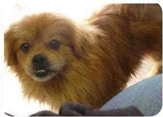 Pekingese Mix Dog for adoption in San Clemente, California - PEKE