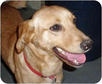 Labrador Retriever Mix Dog for adoption in Powell, Ohio - Taylor