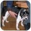 Photo 4 - Rat Terrier Dog for adoption in Concord, California - Waldo