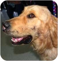 Golden Retriever Mix Dog for adoption in Scottsdale, Arizona - Matthew
