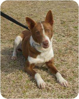Basenji Mix Dog for adoption in Jersey City, New Jersey - ARROW