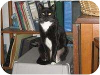 Domestic Shorthair Cat for adoption in Tampa, Florida - Sophie