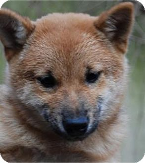 Shiba Inu Puppy for adoption in Antioch, Illinois - Rudolph