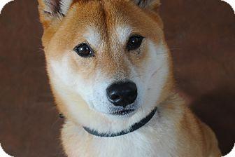 Shiba Inu Dog for adoption in Manassas, Virginia - Fuji