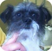 Havanese/Maltese Mix Dog for adoption in Boulder, Colorado - Skyler