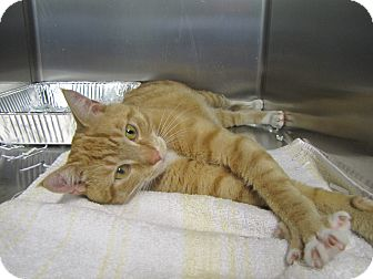 Domestic Shorthair Cat for adoption in Morristown, New Jersey - Doyle