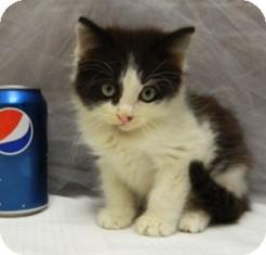 Domestic Mediumhair Kitten for adoption in Columbus, Nebraska - Soda