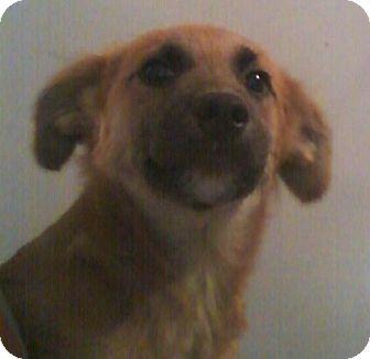 German Shepherd Dog/Shepherd (Unknown Type) Mix Puppy for adoption in Hammonton, New Jersey - camy