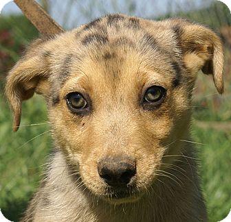 Australian Shepherd Mix Puppy for adoption in Hagerstown, Maryland - Cody