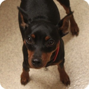 Miniature Pinscher Mix Dog for adoption in Naperville, Illinois - Harley