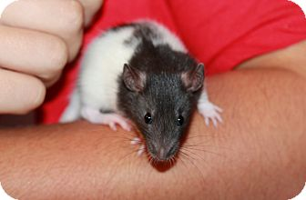 Rat for adoption in Austin, Texas - Willard