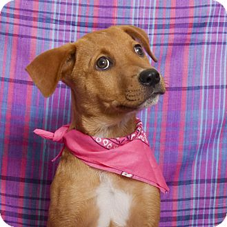 Catahoula Leopard Dog Mix Puppy for adoption in Kerrville, Texas - Angelina