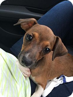 Chihuahua/Terrier (Unknown Type, Small) Mix Puppy for adoption in Brooklyn, New York - Adorable Andy